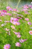 Kosmosblommor och gräs Royaltyfria Bilder