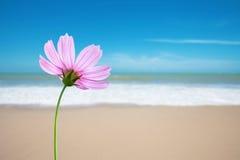 Kosmosblume auf dem Strand lizenzfreie stockfotos