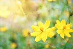 Kosmosblume, die im Garten, flache Abteilung des Feldes blüht Lizenzfreies Stockfoto
