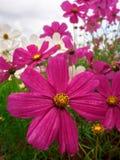 Kosmosblume Familie Compositae im Garten Lizenzfreie Stockfotografie