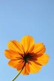 Kosmosblume gegen blauen Himmel Stockfotos