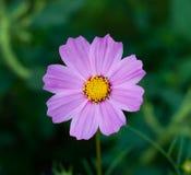 Kosmosblume (purpurrot) Lizenzfreies Stockbild
