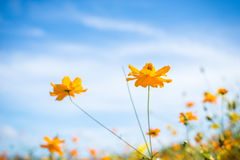 Kosmosblume und blauer Himmel Stockfotos