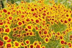 Kosmosblume in voller Blüte Stockfotos