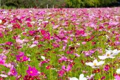 Kosmosblumen auf einem bunten Gebiet Stockfoto