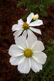 Kosmosblumen, die im Garten blühen Stockfotografie