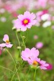 Kosmosblumen im im Freienpark Stockfotos