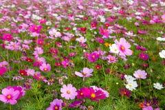Kosmosblumen im im Freienpark Lizenzfreies Stockfoto