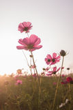 Kosmosblumen im Sonnenuntergang Lizenzfreie Stockfotografie