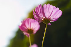 Kosmosblumen am Morgen Stockfotos