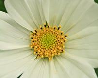 Kosmosblumenabschluß oben Lizenzfreie Stockfotografie