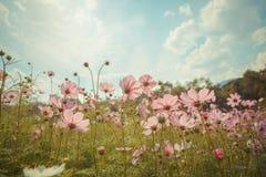 Kosmosblumenblüte im Garten Lizenzfreies Stockfoto