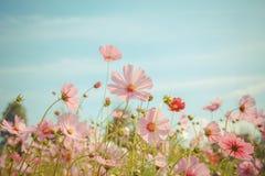 Kosmosblumenblüte im Garten Lizenzfreie Stockfotos