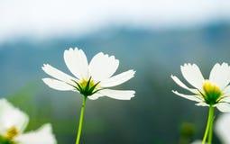 Kosmosblumenfeld, Frühlingshintergrund, Urlaubraum für das Addieren von te Stockfoto