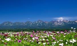 Kosmosblumenfeld im Sommer mit Gebirgshintergrund Stockfotografie