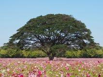 Kosmosblumenfeld und großer Baum Stockfoto