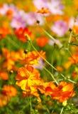 Kosmosblumengärten stockfotos