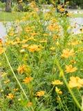 Kosmosblumengarten, -Weichzeichnung und -Retro- Stockbild