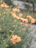 Kosmosblumengarten, -Weichzeichnung und -Retro- Stockfotos