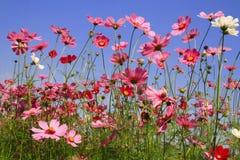 Kosmosrosa färgblomma i trädgård Arkivfoto