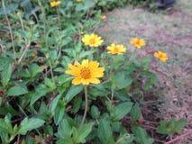 Kosmossulphureus eller gulingkosmosblomma Royaltyfri Foto