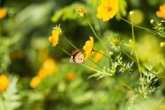 Kosmossulphureus Sunny Yellow, Klondyke-type Royalty-vrije Stock Fotografie