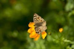 Kosmossulphureus Sunny Yellow, Klondyke-type Stock Foto's