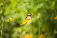 Kosmossulphureus Sunny Yellow, Klondyke-type Royalty-vrije Stock Foto's