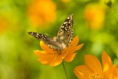Kosmossulphureus Sunny Yellow, Klondyke-type Stock Afbeelding