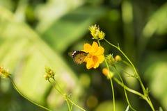 Kosmossulphureus Sunny Yellow, Klondyke-type Royalty-vrije Stock Afbeeldingen