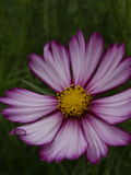 Kosmosu bipinnatus furora Candystripe 01 Zdjęcie Royalty Free
