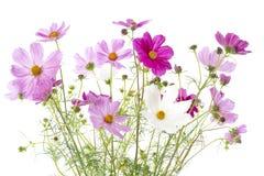 Kosmosu bipinnatus kwitnie na bielu Fotografia Stock