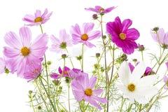 Kosmosu bipinnatus kwitnie na bielu Zdjęcia Royalty Free
