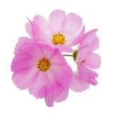 kosmosu kwiatów menchie Obraz Stock