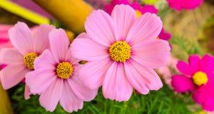 kosmosu kwiatów menchie Zdjęcie Royalty Free