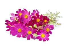 kosmosu kwiatów menchie Obrazy Stock