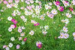 kosmosu kwiatów menchii biel Zdjęcie Stock