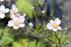 kosmosu kwiatów menchii biel Obraz Royalty Free