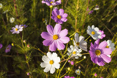 kosmosu kwiatów menchii biel Obraz Stock