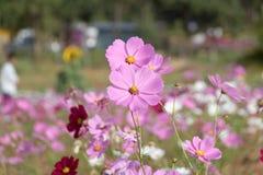 kosmosu kwiatów menchii biel Obrazy Stock