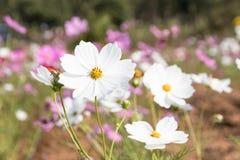 kosmosu kwiatów menchii biel Fotografia Stock