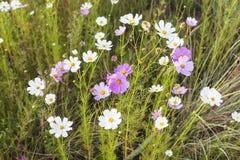 kosmosu kwiatów menchii biel Zdjęcia Royalty Free