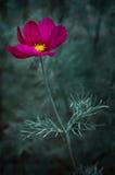 kosmosu kwiat Zdjęcia Royalty Free