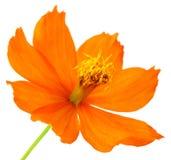 Kosmosu kwiat Obraz Royalty Free