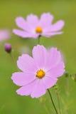 Kosmosu kwiat Zdjęcie Royalty Free