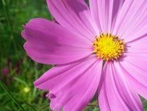 Kosmosu kwiat Obrazy Royalty Free