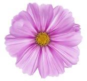 Kosmosu kwiat Obrazy Stock