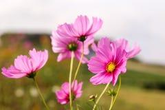 Kosmosu kwiat Fotografia Stock