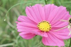 Kosmosu kwiat Zdjęcie Stock