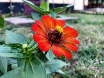 Kosmosu kwiat Zdjęcia Stock